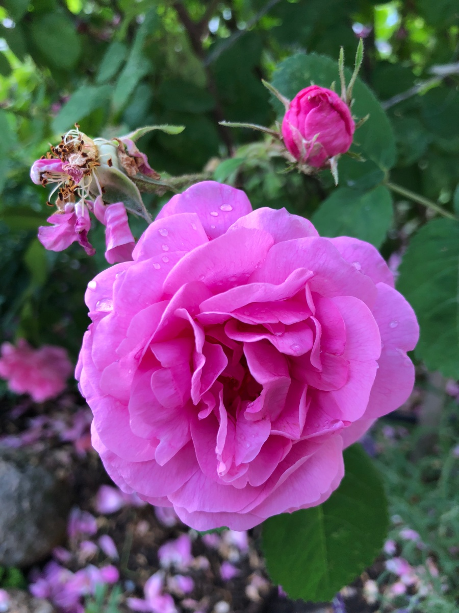 Rosa fresca aulentissima